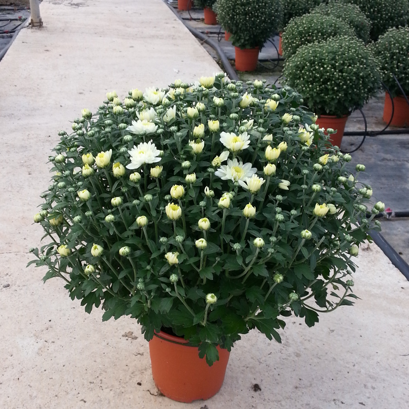 CHRYSANTHEMUM M-19